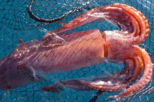 photo calamars rouge